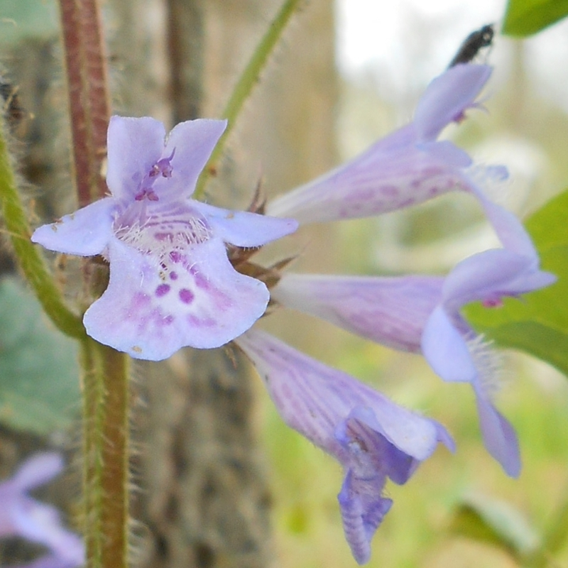 Edera terrestre glechoma hederacea pianta sempreverde for Edera sempreverde